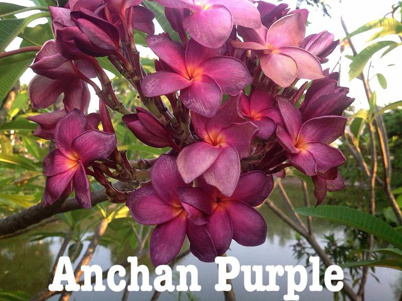 plumeria anchan purple (not grafted) 50