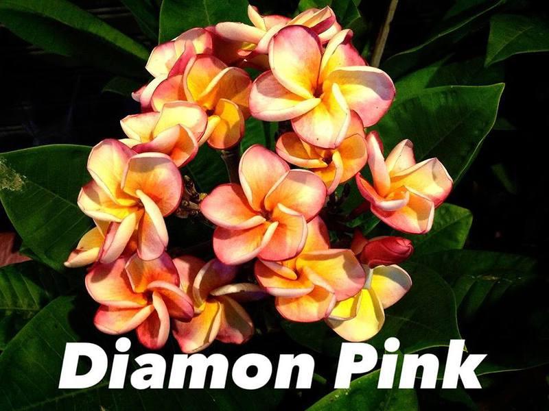 plumeria diamond pink 20