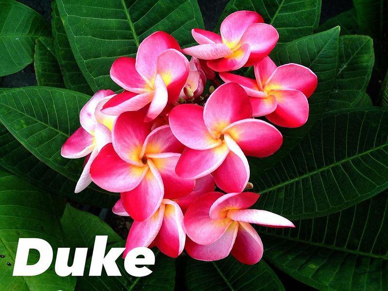 Plumeria Duke 23