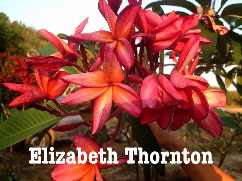 plumeria elizabeth thornton (not grafted) 50