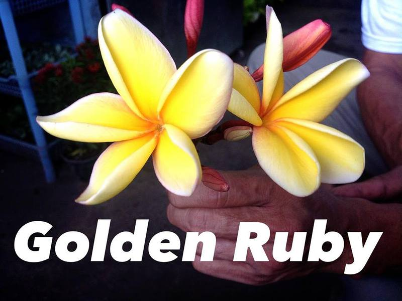 plumeria golden ruby (not grafted) 50