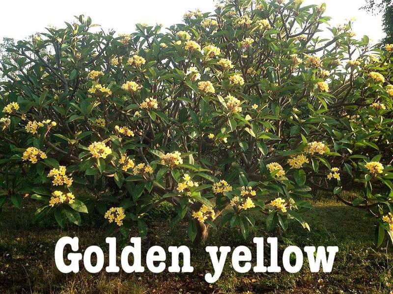 plumeria golden yellow 20
