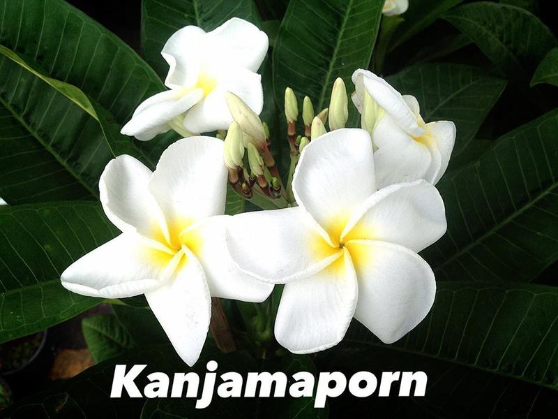 plumeria kanjamaporn 18