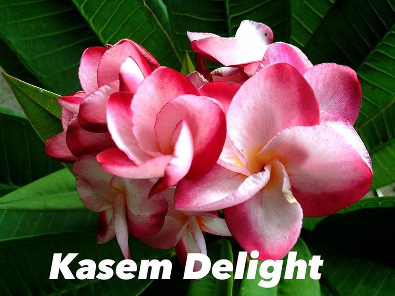 plumeria kasem delight 35