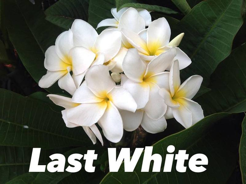 plumeria last white 30