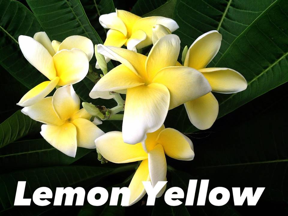 plumeria lemon yellow 25