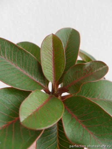 plumeria mini siam star (зеленые листья с красным жилкованием ) 70