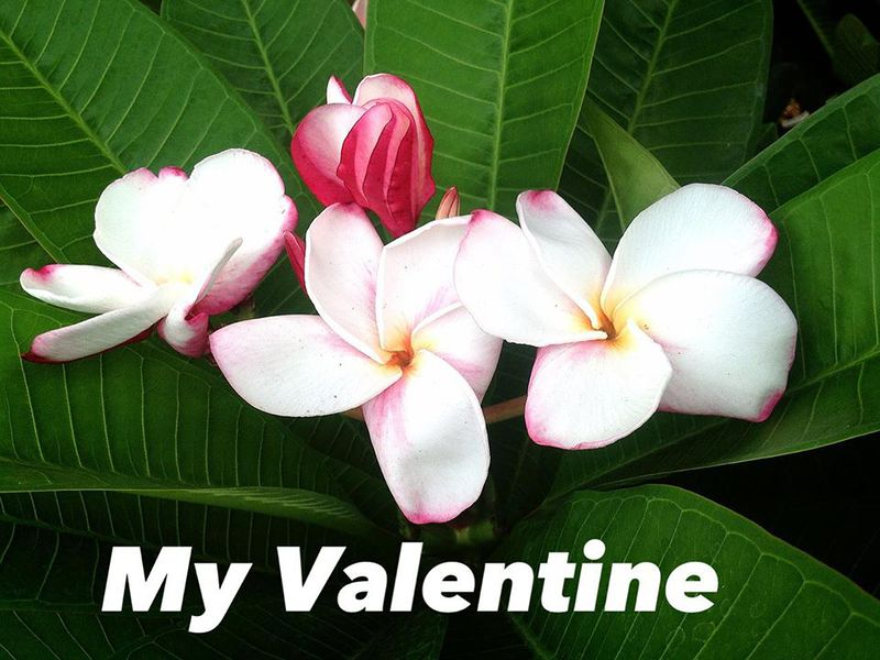 Plumeria My Valentine 23