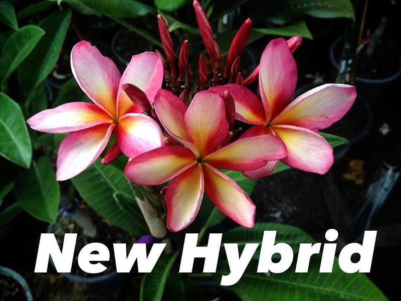 plumeria new hybrid (multicolor) 28