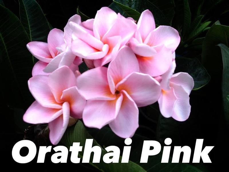 Plumeria Orathai Pink 23