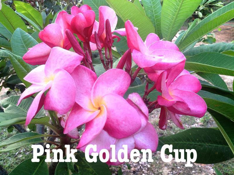plumeria pink golden cup 20