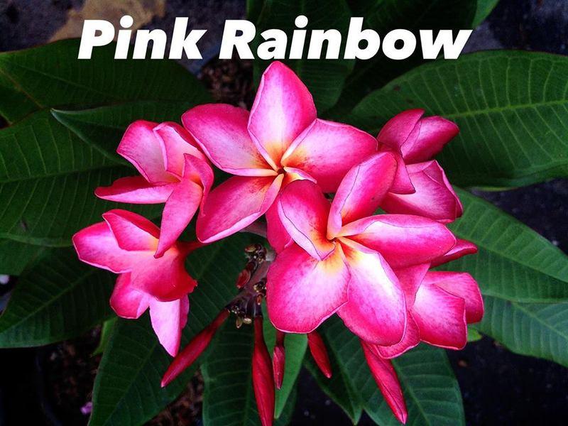 plumeria pink rainbow 20