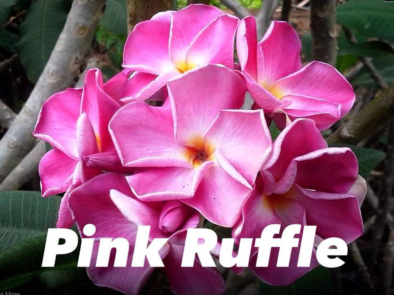 plumeria pink ruffle 30