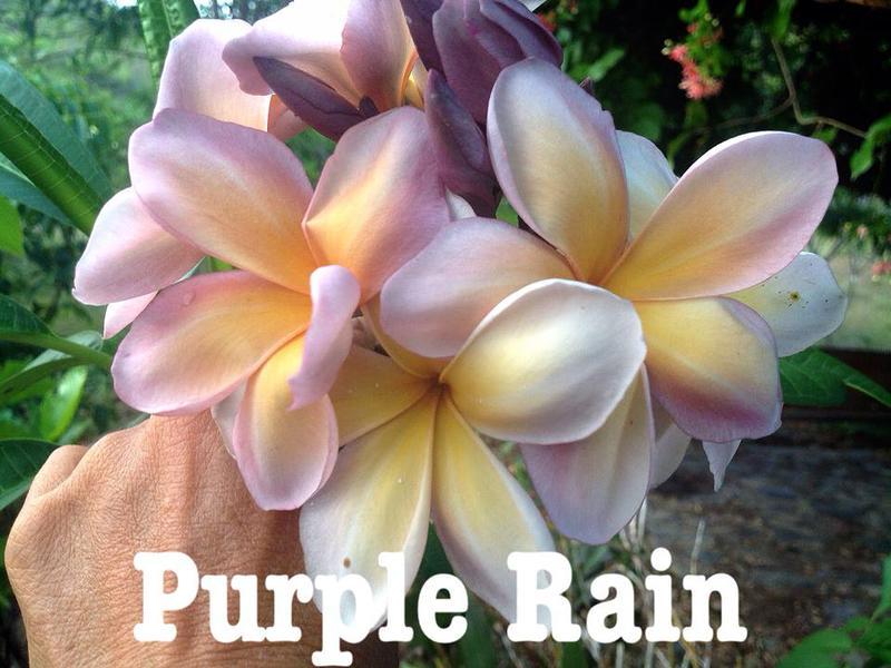 plumeria purple rain 30