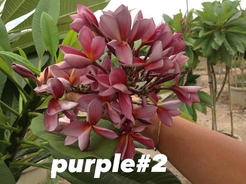 plumeria purple#2 20