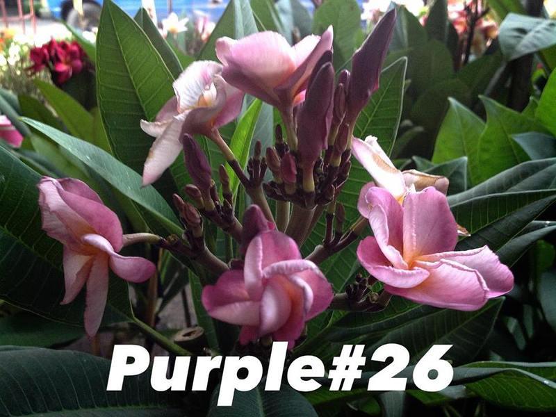 plumeria purple#26 18