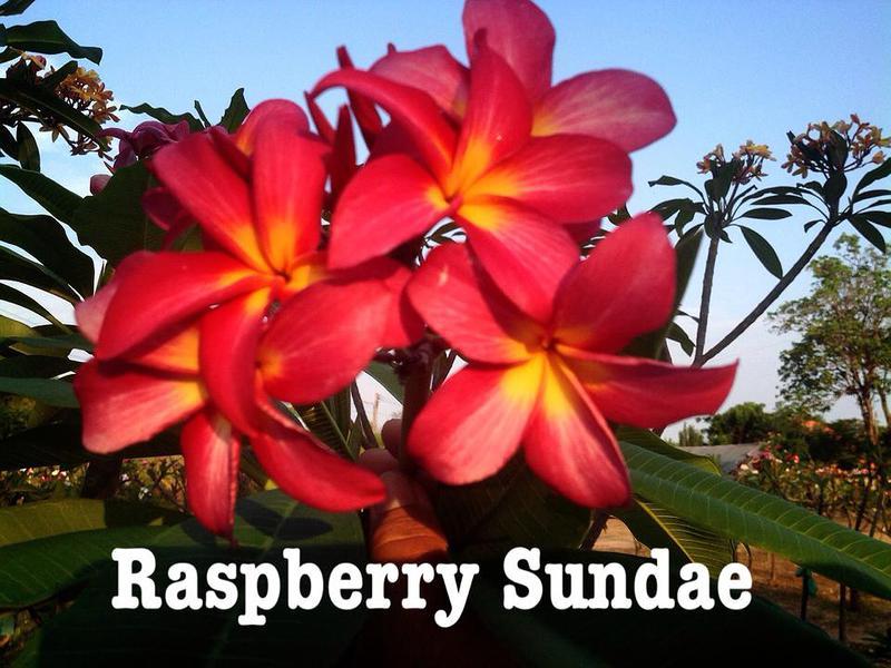 plumeria raspberry sundae 20