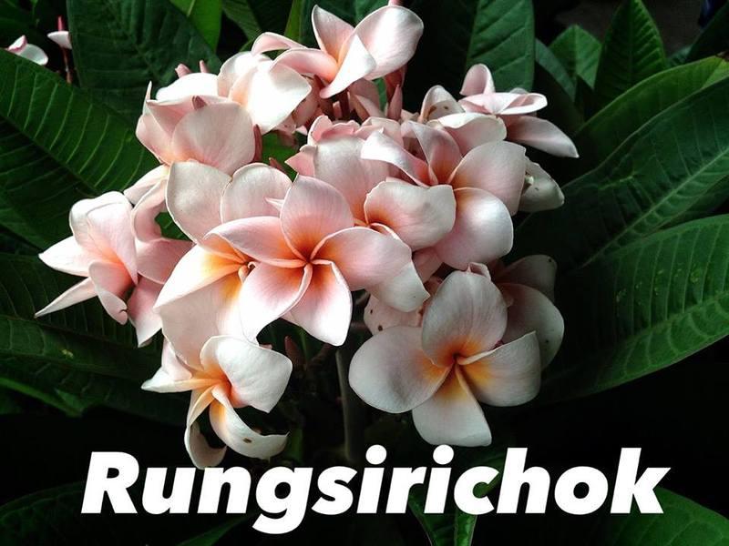 Plumeria Rung Sirichoke 20