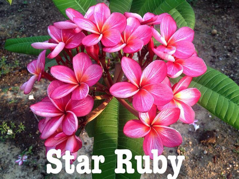 plumeria star ruby 30