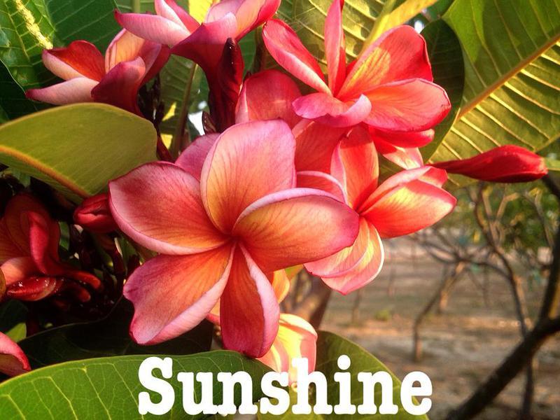 plumeria sunshine 20