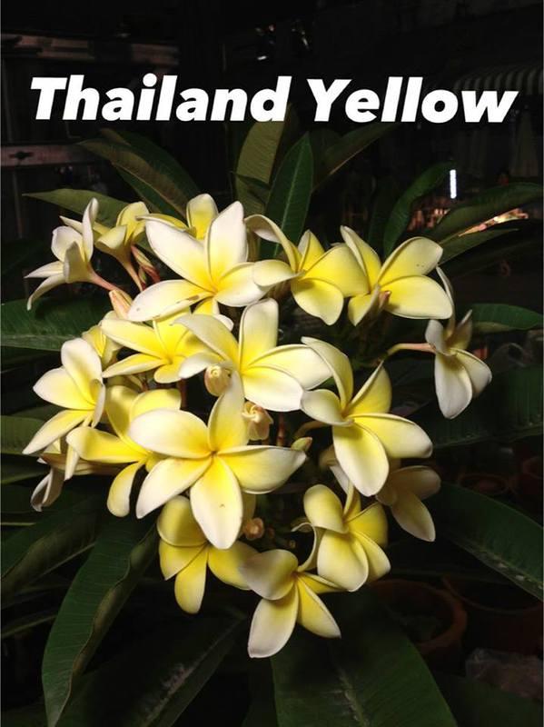plumeria thailand yellow 18