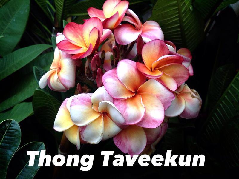 Plumeria Thong Taweekun 23