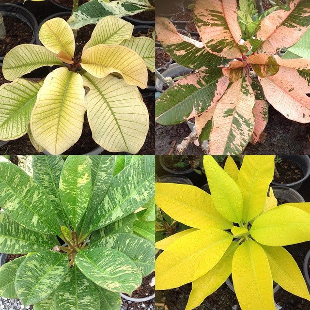 plumeria variegated mix each type 35 or set of 4 types for 100