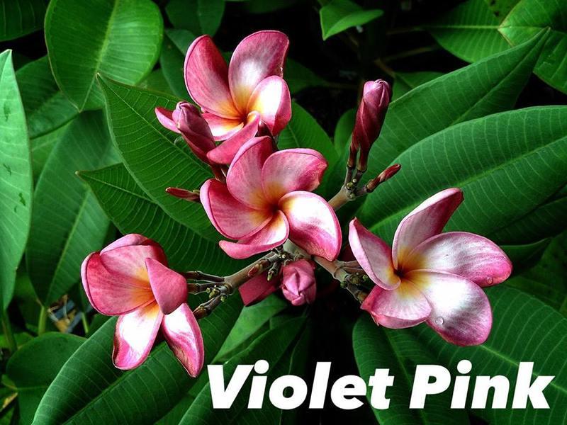 plumeria violet pink 18