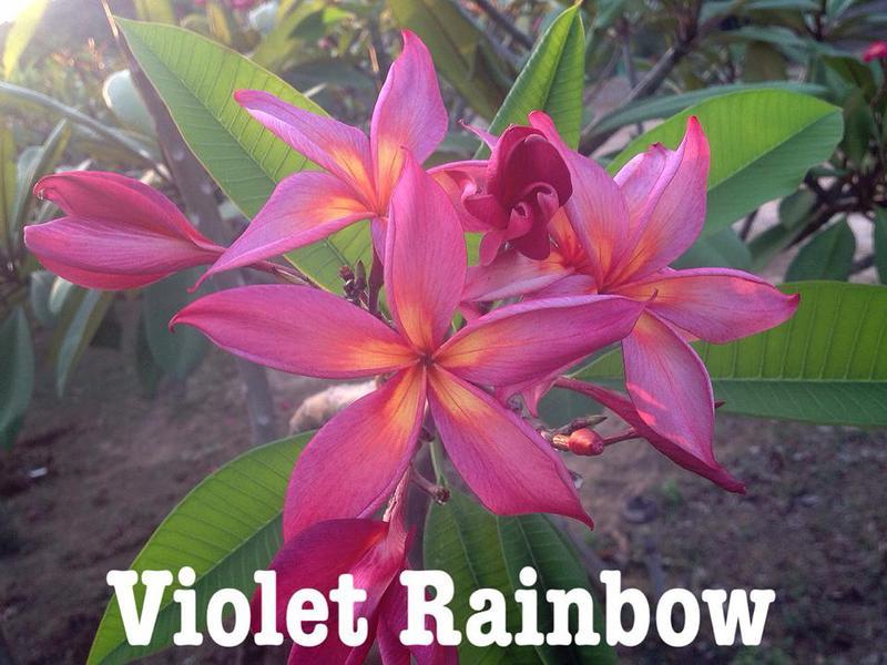 plumeria violet rainbow 50