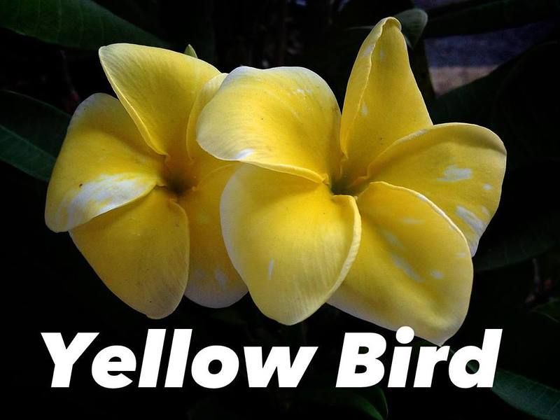 plumeria yellow bird 35