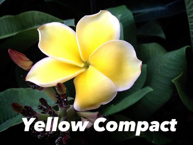 plumeria yellow compact 35