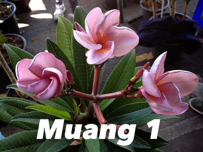 plumerria muang1 25