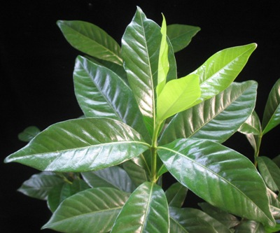 Gardenia sp.(T16) Malaysia (the leaf thicker than G. vietnamensis) (TF) 35