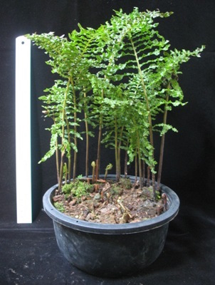 Nephrolepis 'Walking Fern' 40