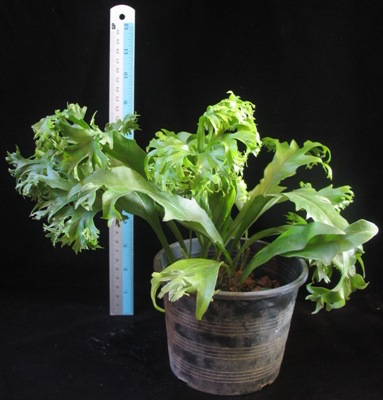Polypodium polycarpon cv. Grandiceps (Compact form) 40