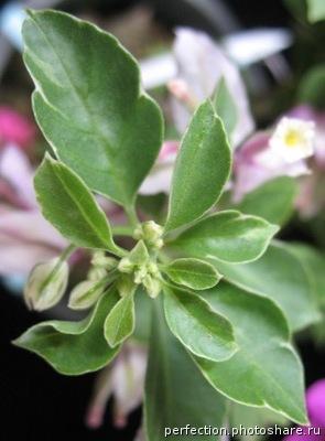Bougainvillea Benjawan variegated 30