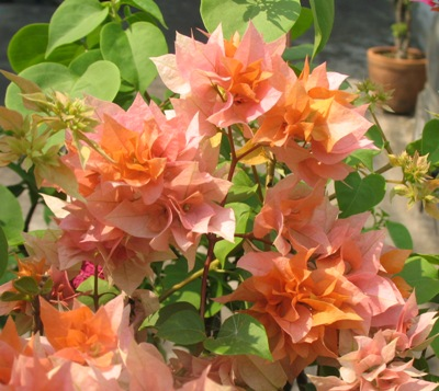 Bougainvillea 'Double Orange' 16