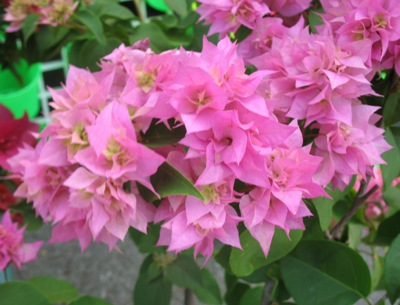 Bougainvillea 'Double Pink' 16