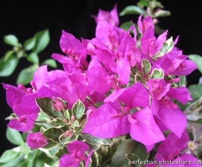 Bougainvillea Kusuma variegated 26