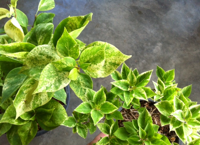 Bougainvillea Pixie Queen variegata 'Giant leaf' 30