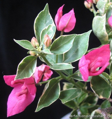 Bougainvillea Thong Chai Red variegated 26