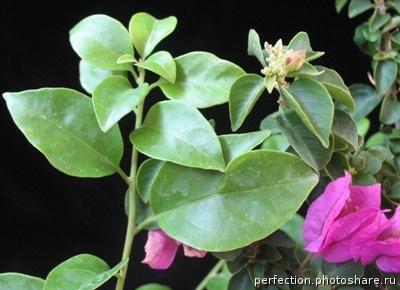 Bougainvillea arborea 14