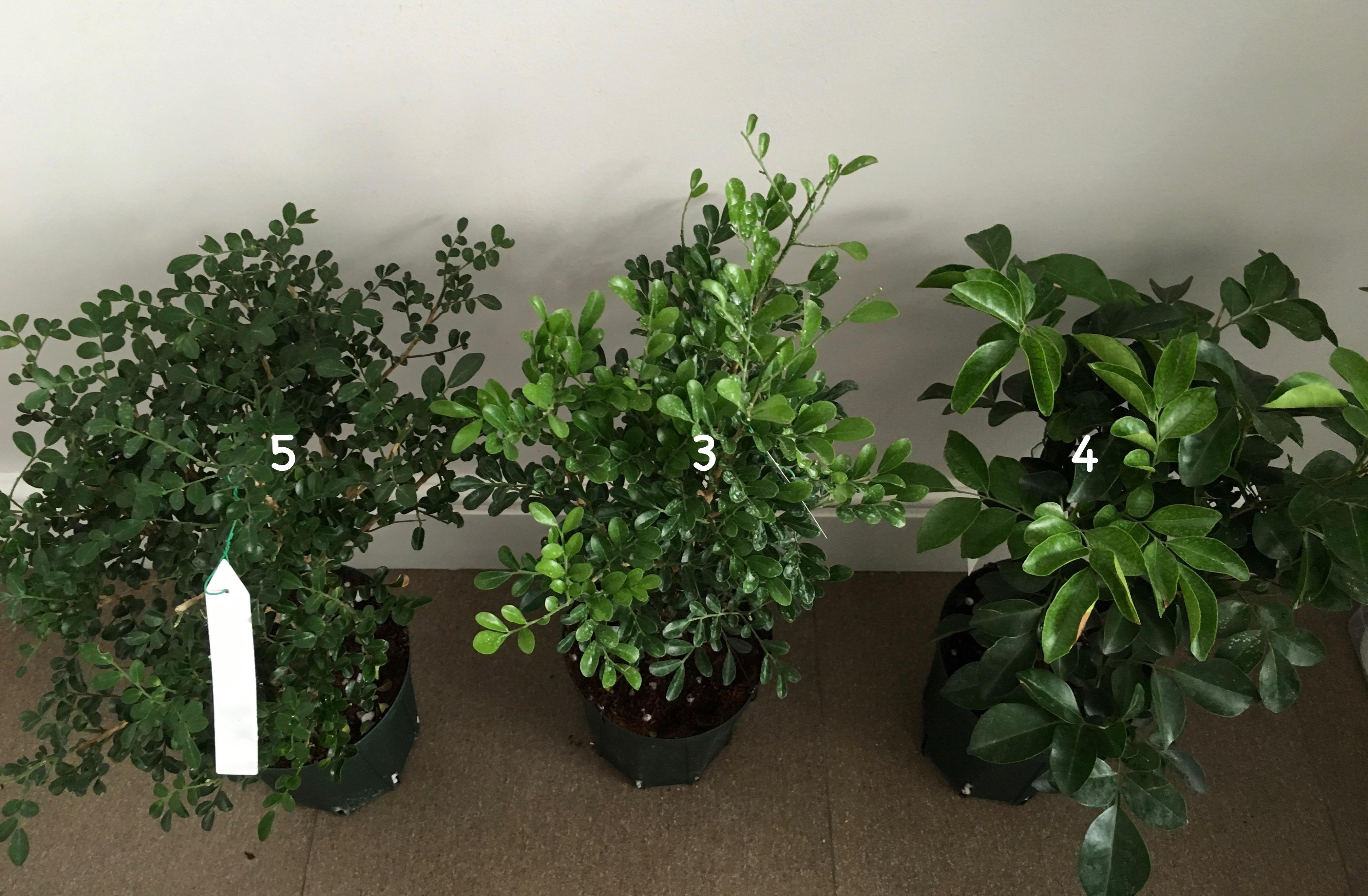 Murraya 'Mim-a-min' Dwarf (mutation) (слева) Murraya paniculata «Min-a-min» dwarf (в центре) Murraya paniculata 'Min-a-min' (big leaf) (справа)