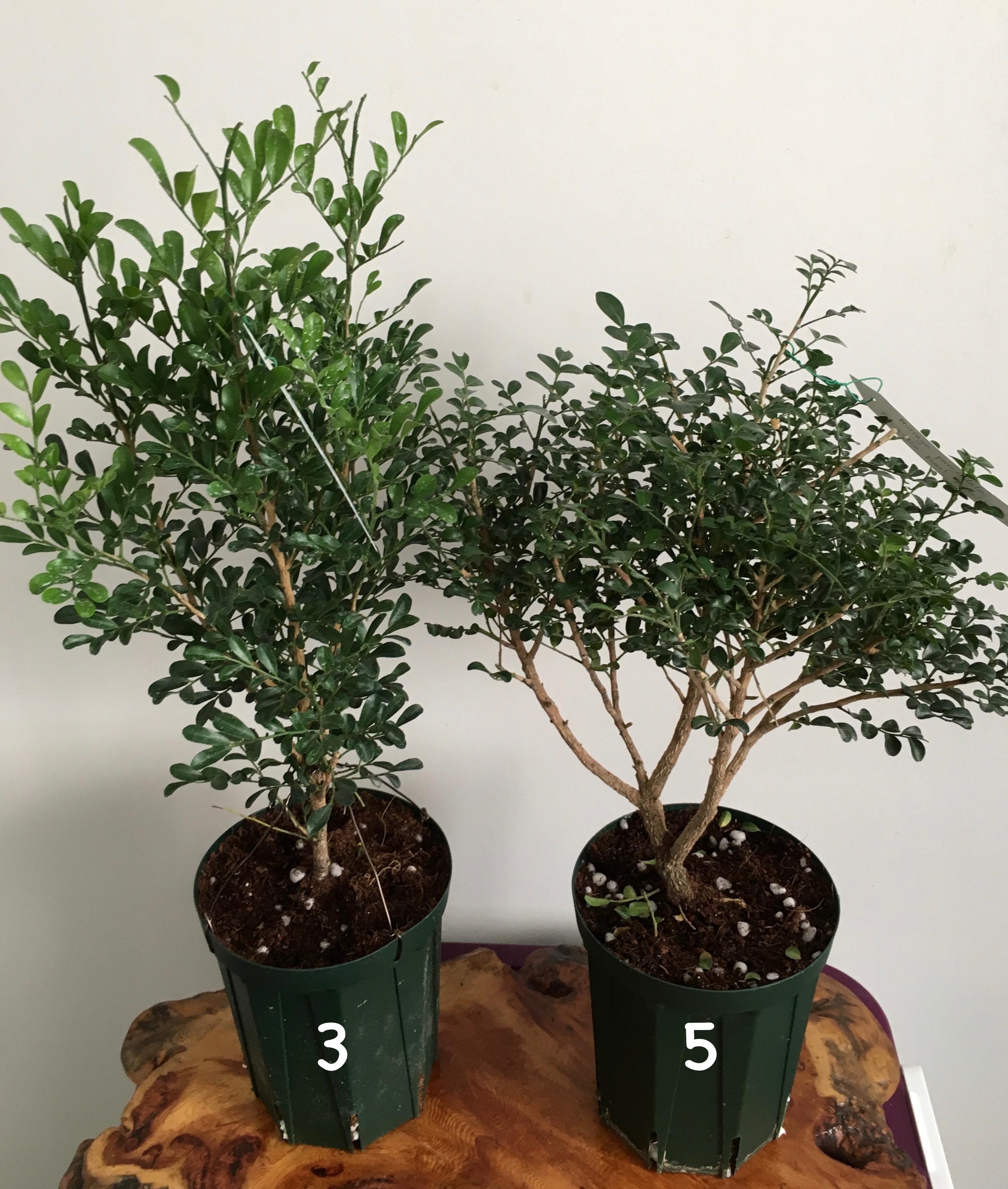 Murraya paniculata «Min-a-min» dwarf (слева) Murraya 'Mim-a-min' Dwarf (mutation) (справа)