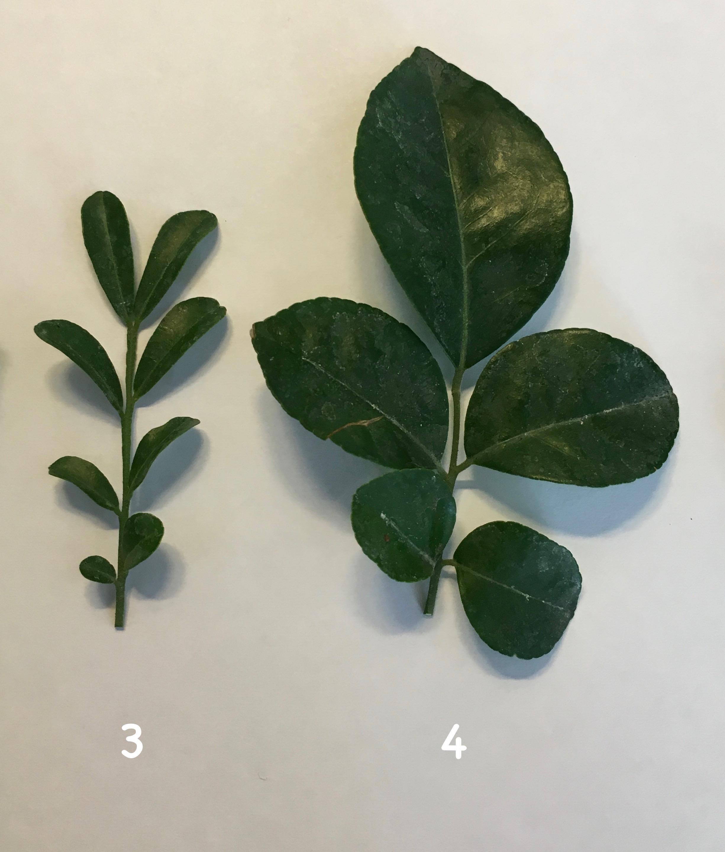 Murraya paniculata «Min-a-min» dwarf 23 (слева) Murraya paniculata 'Min-a-min' (big leaf) 25 (справа)