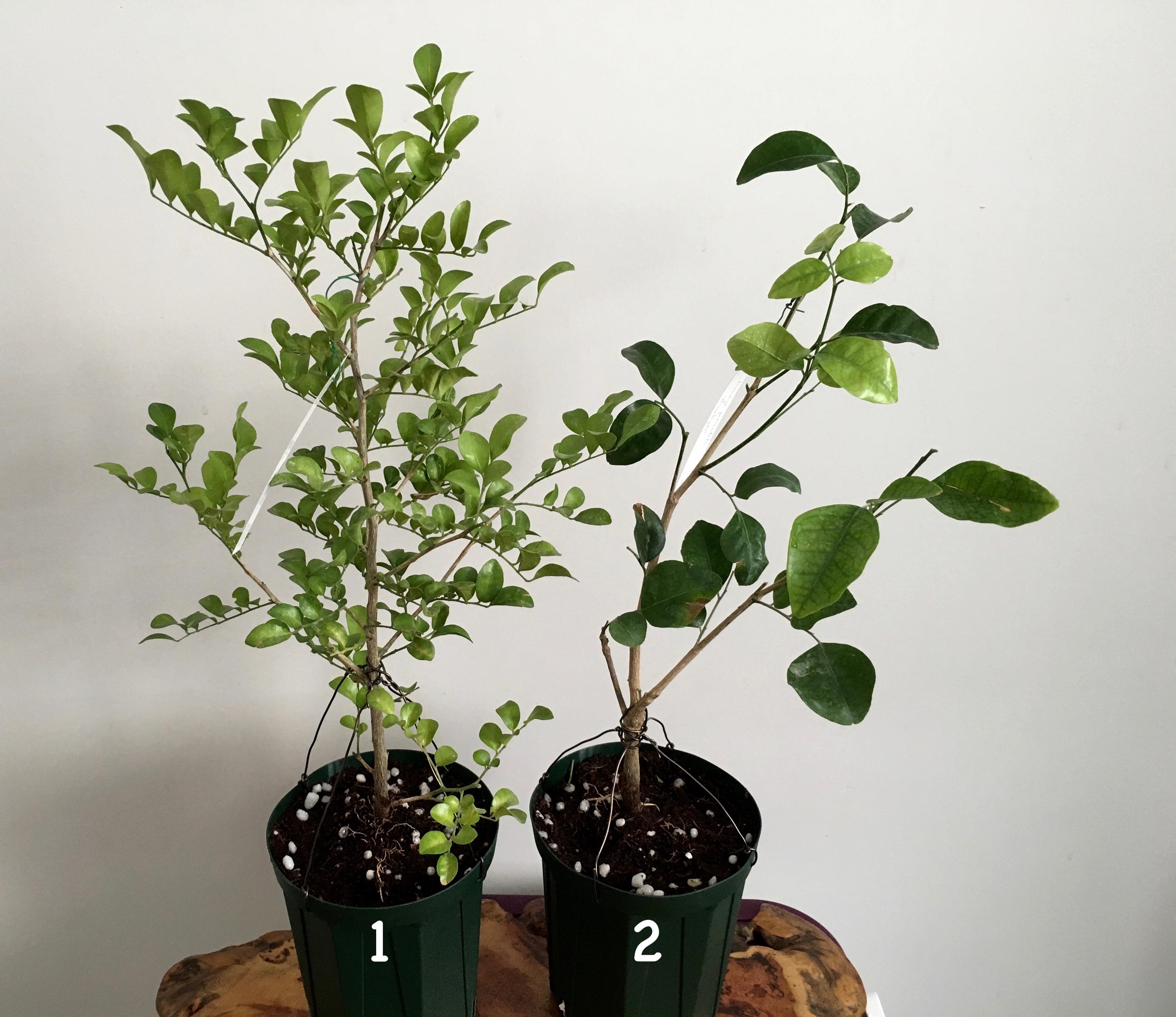 Murraya paniculata 'Dwarf' (wavy leaf) (слева) Murraya paniculata 'Himalayan' (справа)