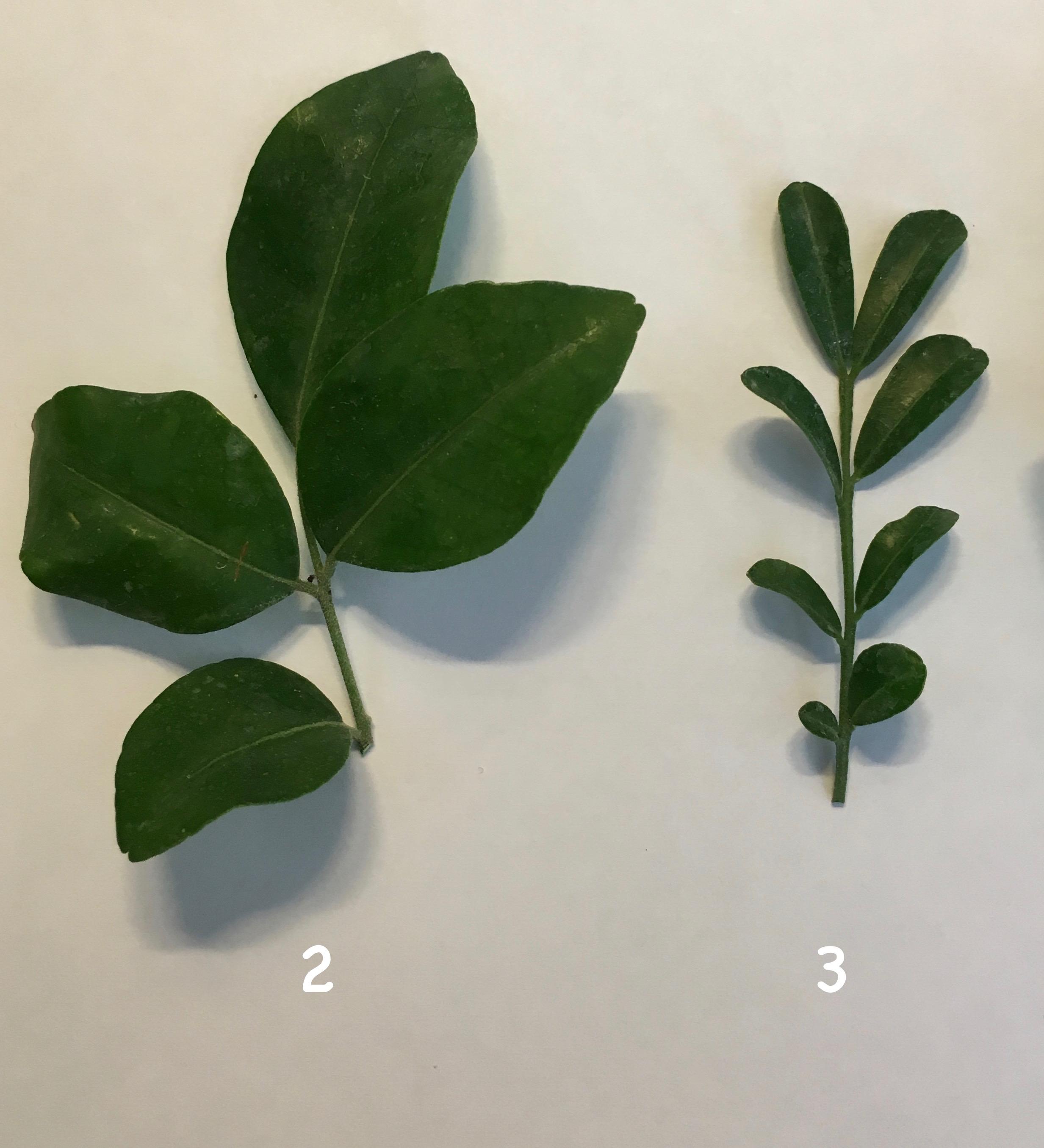 Murraya paniculata 'Himalayan' 24 (слева) Murraya paniculata «Min-a-min» dwarf 23 (справа)