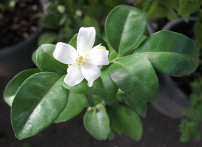 Murraya paniculata 'Himalayan' flower