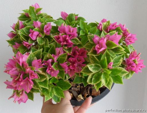 Bougainvillea Pixie Queen variegata 20