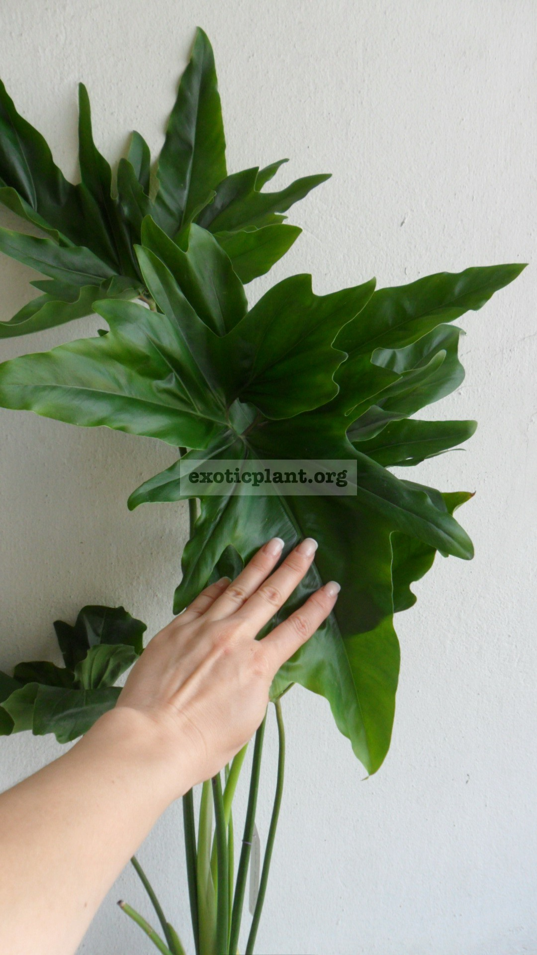 "Philodendron African Fantasy syn Philodendron Angela / филодендрон ""Эфрикэн Фэнтези"", ""Африканская фантазия"", ""Энджела"" 23-50"
